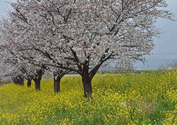 桜と菜の花 DSF_0010