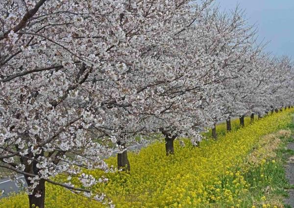 桜と菜の花 DSF_0018