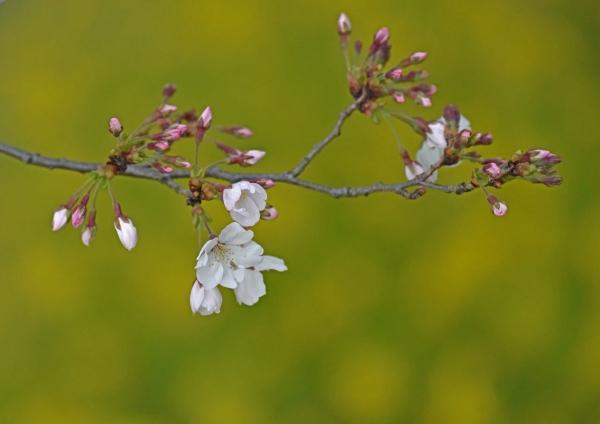桜と菜の花 DSF_0029
