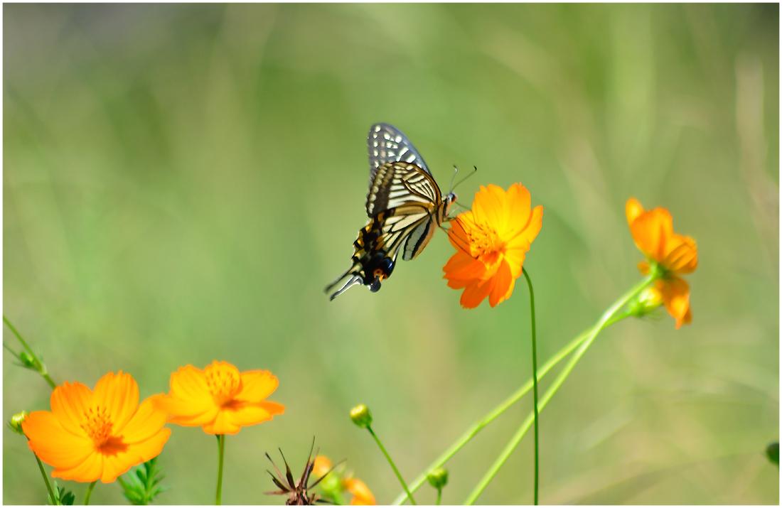 花と蝶・助手2