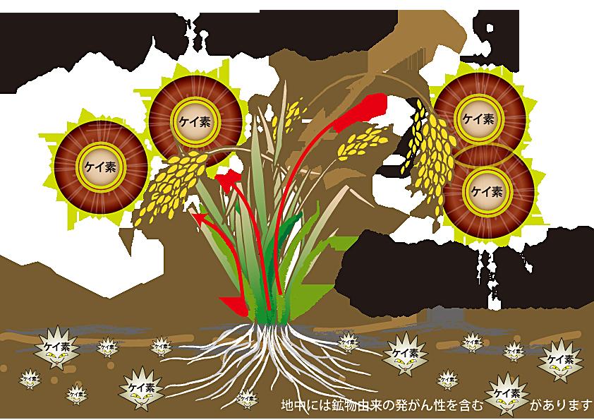 稲 シリカ