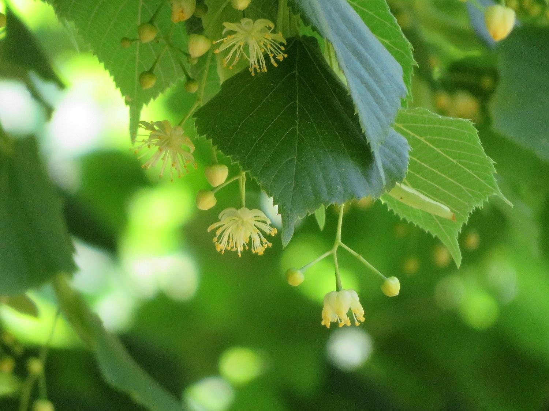 ⑨「緑の光と影」ナツボダイジュ