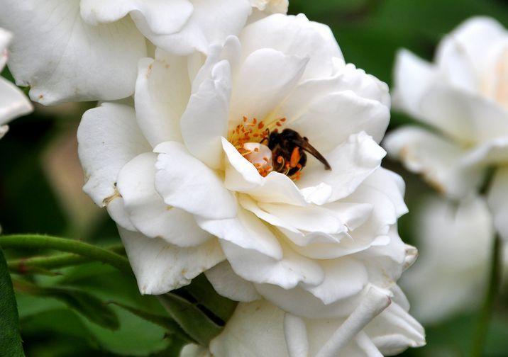 ⑥「白い薔薇と蜜を吸う蜂」