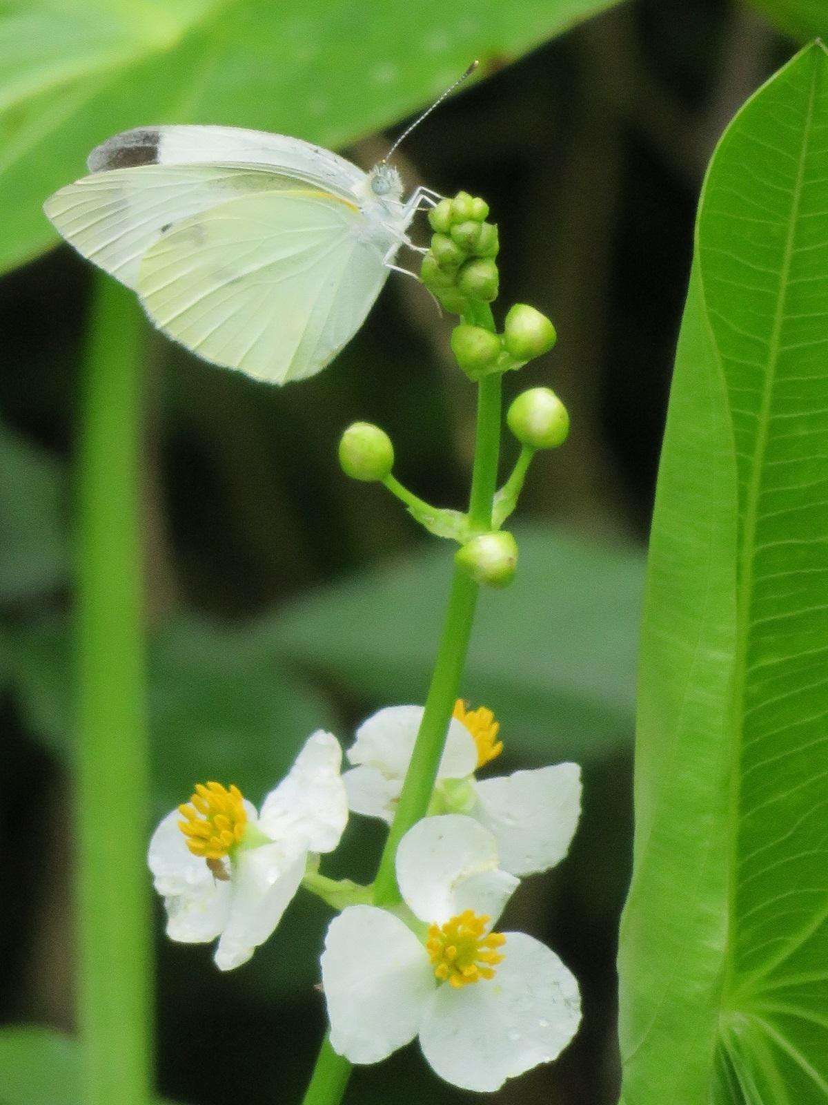 ⑮「白と白」クワイの花