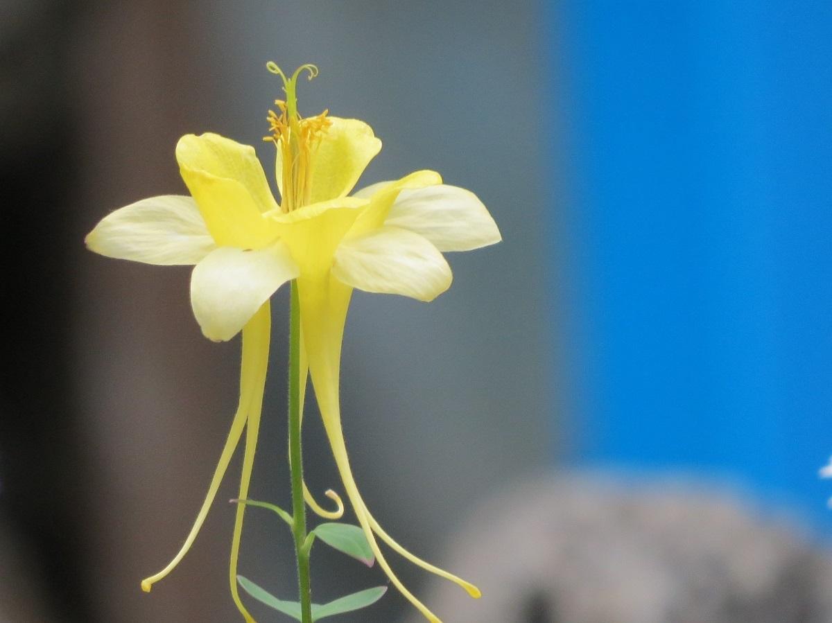 ④「黄色の貴婦人」西洋オダマキ
