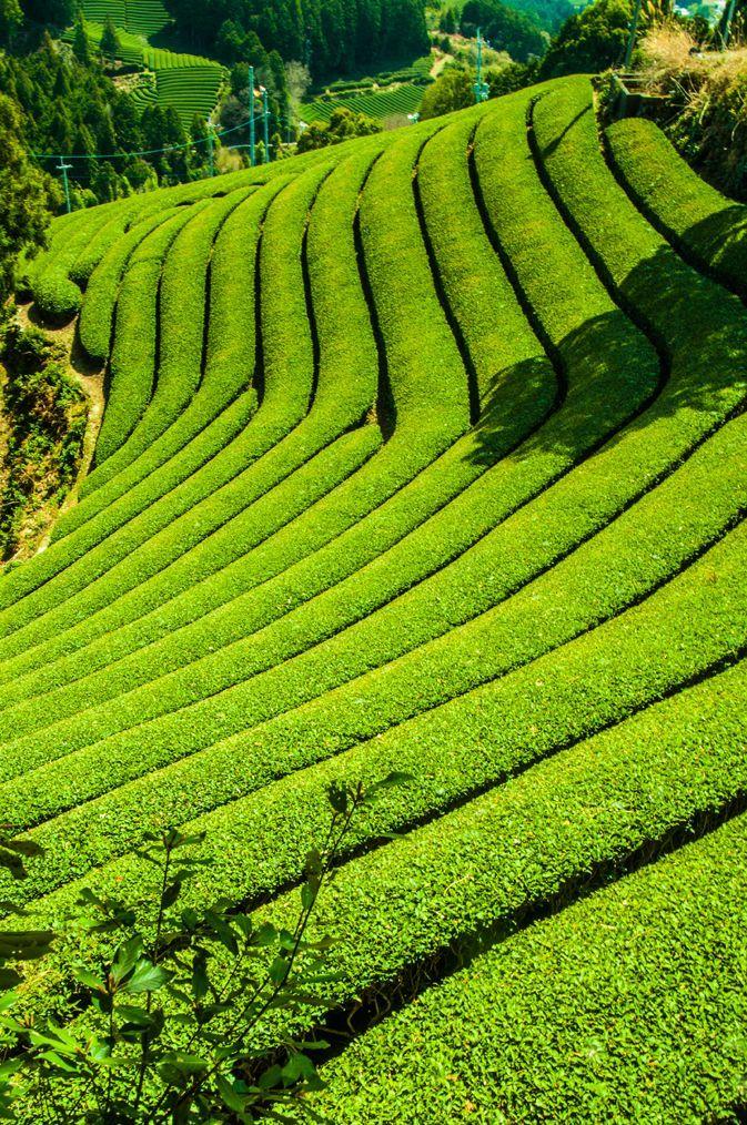 ③「ウエーブ茶畑」