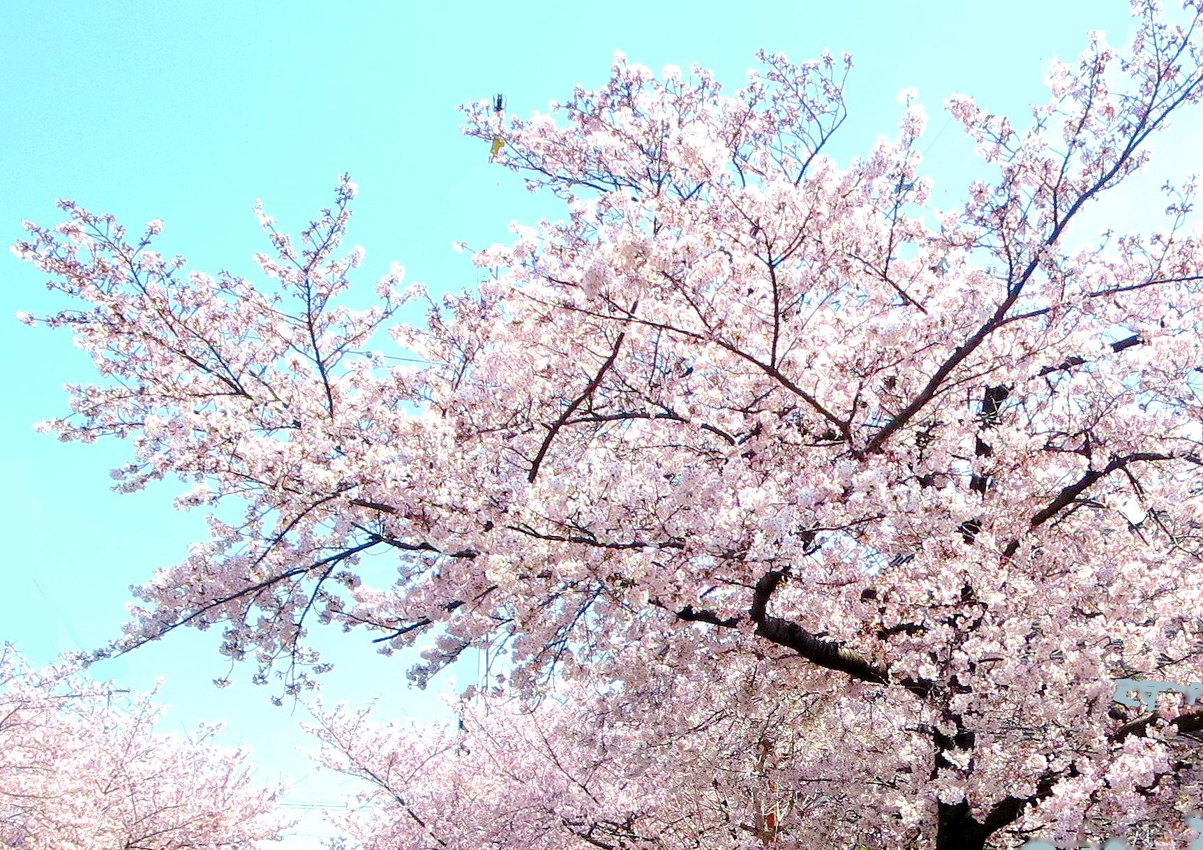 ①「近所の街路樹-1」