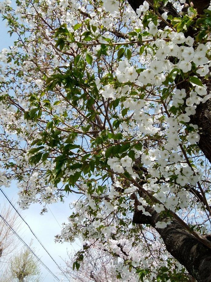 ⑦「公園の白いサクラと葉」