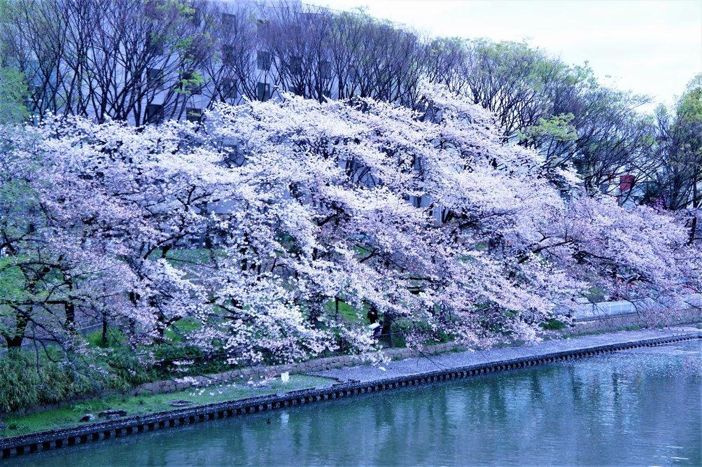 ⑩「大川の桜」