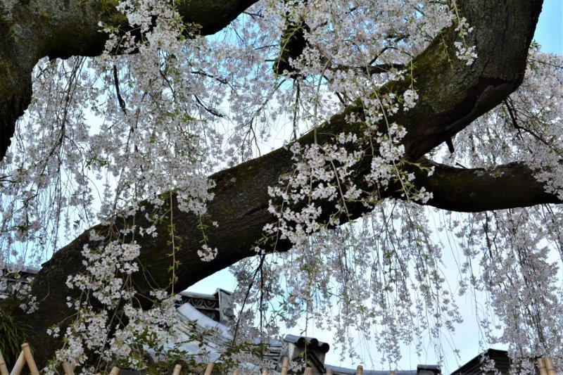 ⑭「桜のシャワー」