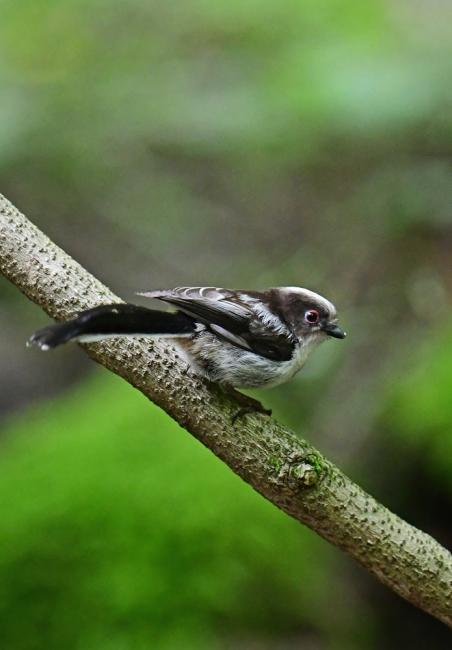 16869-エナガ幼鳥-1