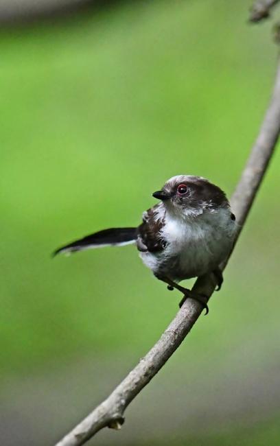 16871-エナガ幼鳥-3