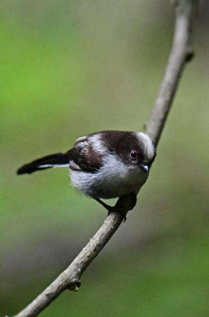 16872-エナガ幼鳥-4