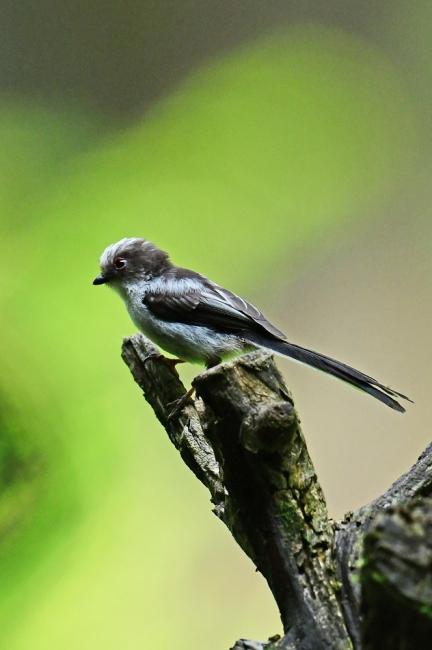 16873-エナガ幼鳥-5