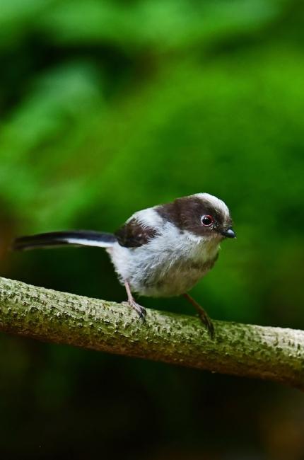 16874-エナガ幼鳥-1