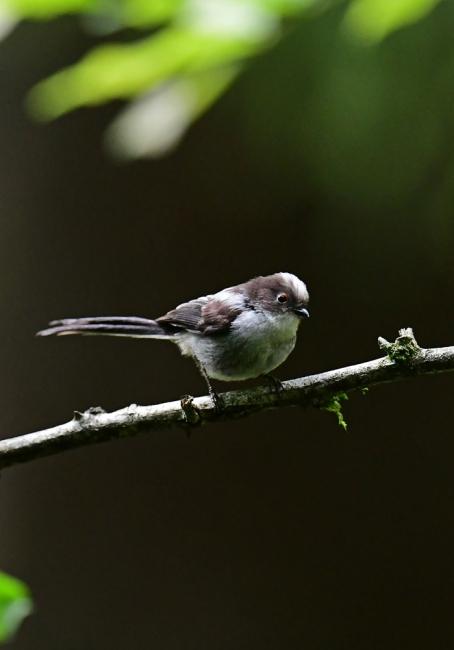 16875-エナガ幼鳥-2