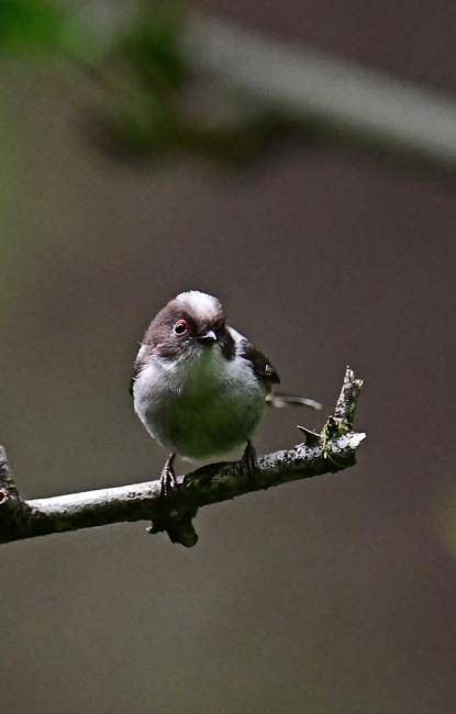 16876-エナガ幼鳥-3