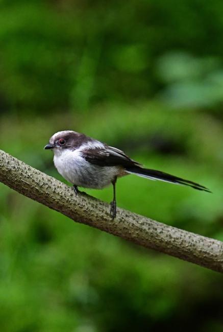 16877-エナガ幼鳥-4