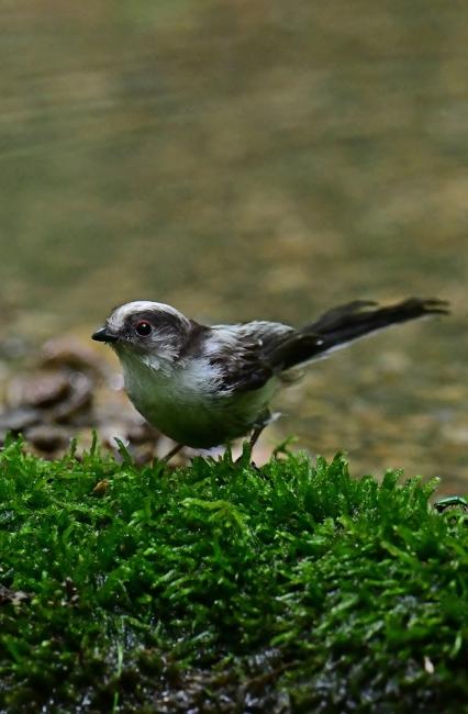 16878-エナガ幼鳥-5