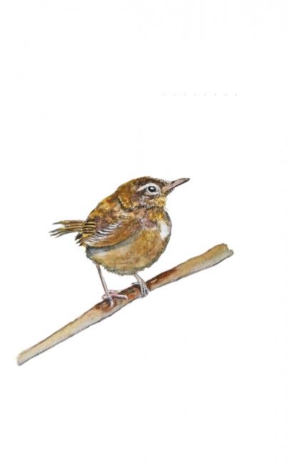 16932-ウグイス 幼鳥