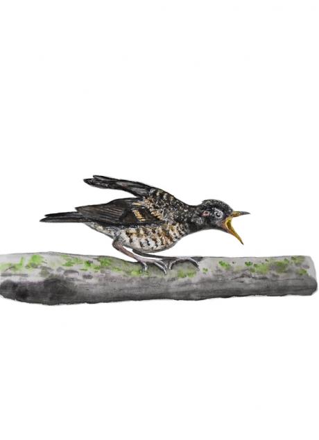 17816-クロツグミ-幼鳥1
