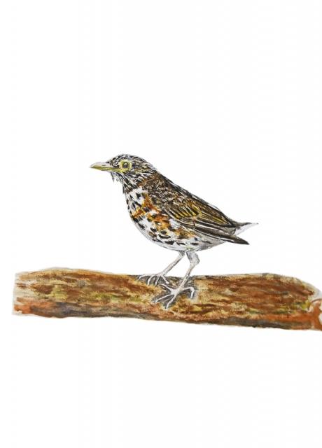 17818-クロツグミ-幼鳥3