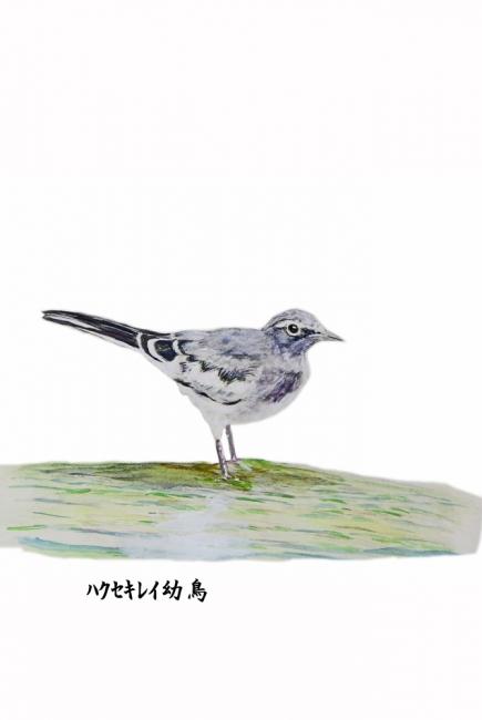 17986-ハクセキレイ幼鳥