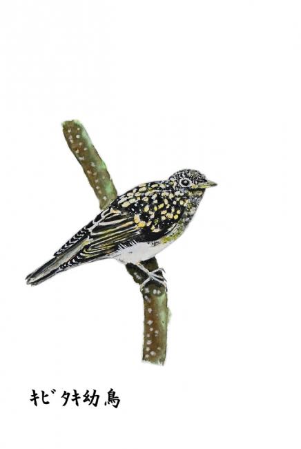 17987-キビタキ幼鳥-1