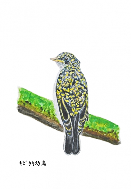 17988-キビタキ幼鳥-2