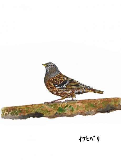 17993-イワヒバリ