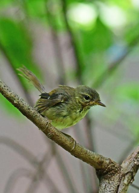 18078-ウグイス 幼鳥-1
