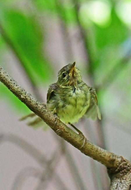 18079-ウグイス 幼鳥-2