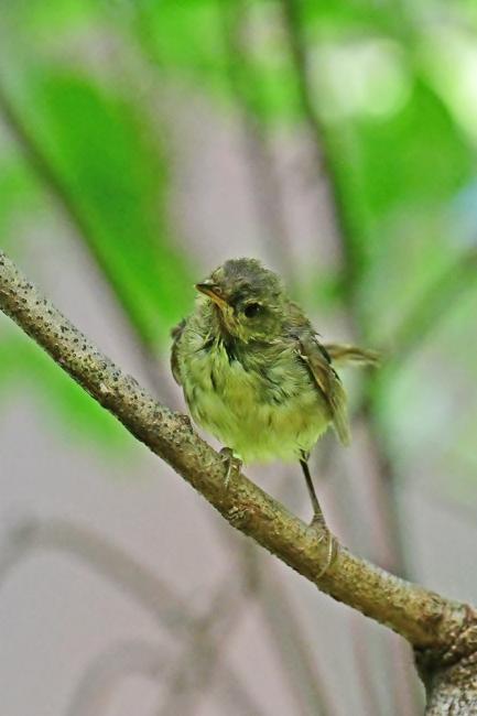 18080-ウグイス 幼鳥-3