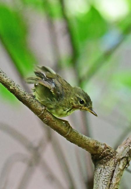 18081-ウグイス 幼鳥-4