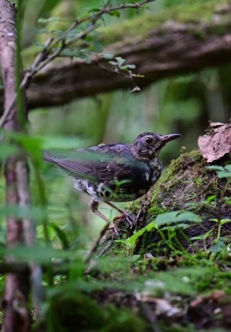 18141-クロツグミ幼鳥-1