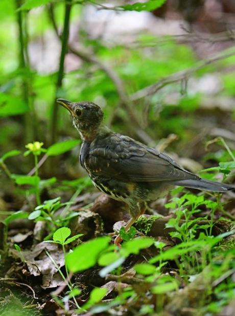 18142-クロツグミ幼鳥-2