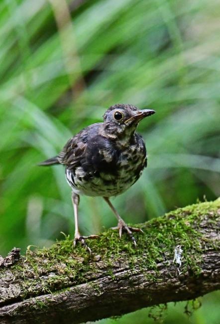 18143-クロツグミ幼鳥-3