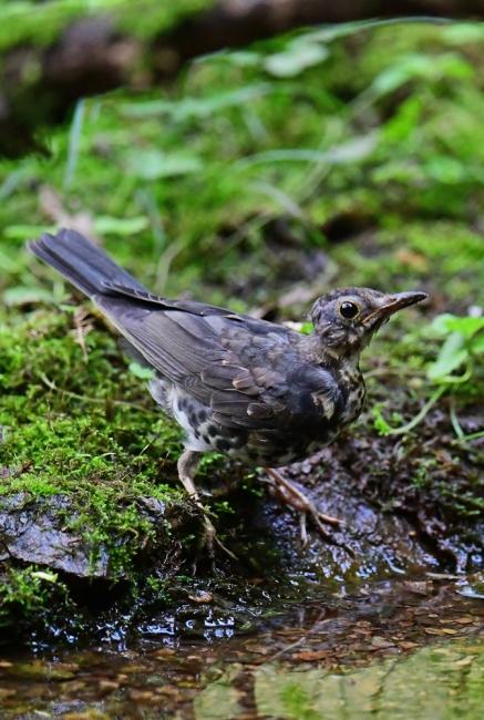 18144-クロツグミ幼鳥-4