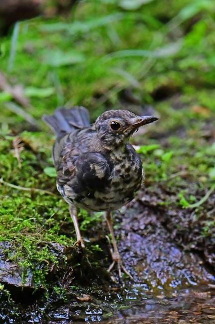 18145-クロツグミ幼鳥-5