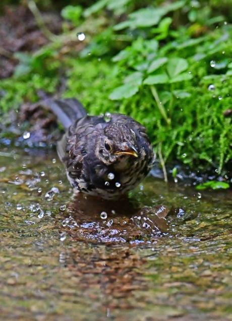 18147-クロツグミ幼鳥-2