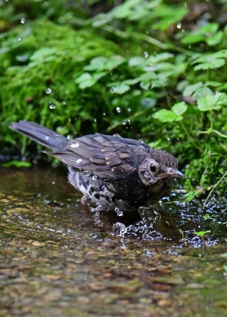 18148-クロツグミ幼鳥-3