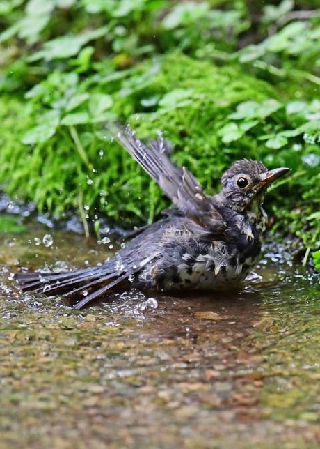 18149-クロツグミ幼鳥-4