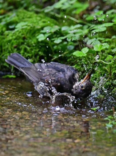 18150-クロツグミ幼鳥-5
