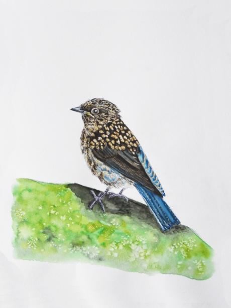 18590-ルリビタキ幼鳥-1
