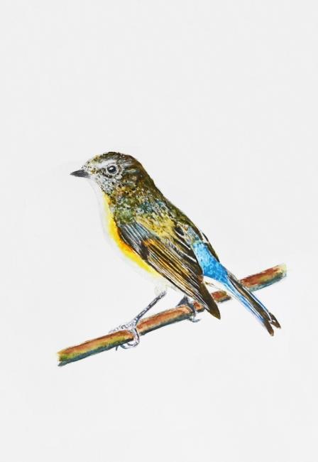 18591-ルリビタキ幼鳥-2