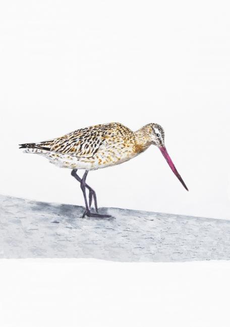 18595-オオソリハシシギ