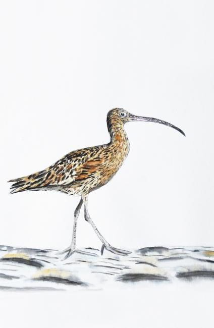 18596-ホウロクシギ