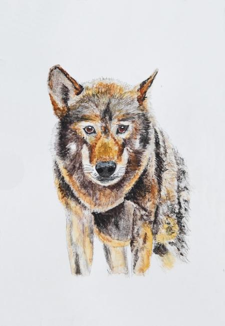 18691-タイリクオオカミ