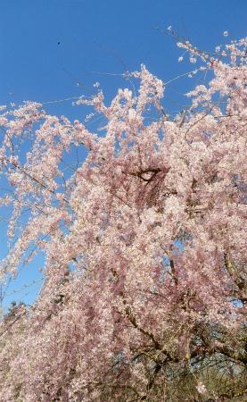 20210404しだれ桜2