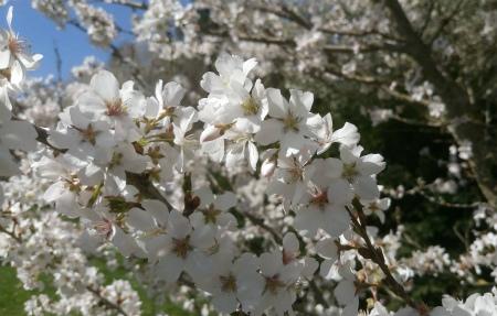 20210404おかめ桜3